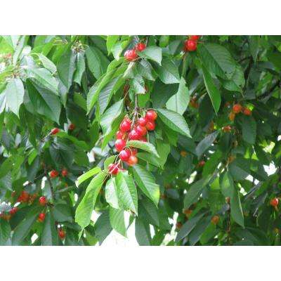 Dwarf Rainier Cherry Tree Bare Root