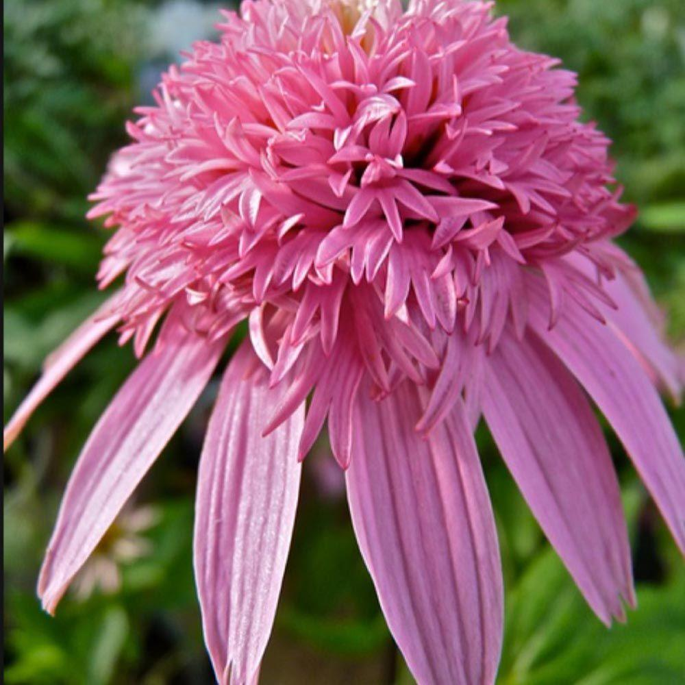 OnlinePlantCenter 1 gal. Pink Double Delight Coneflower Plant