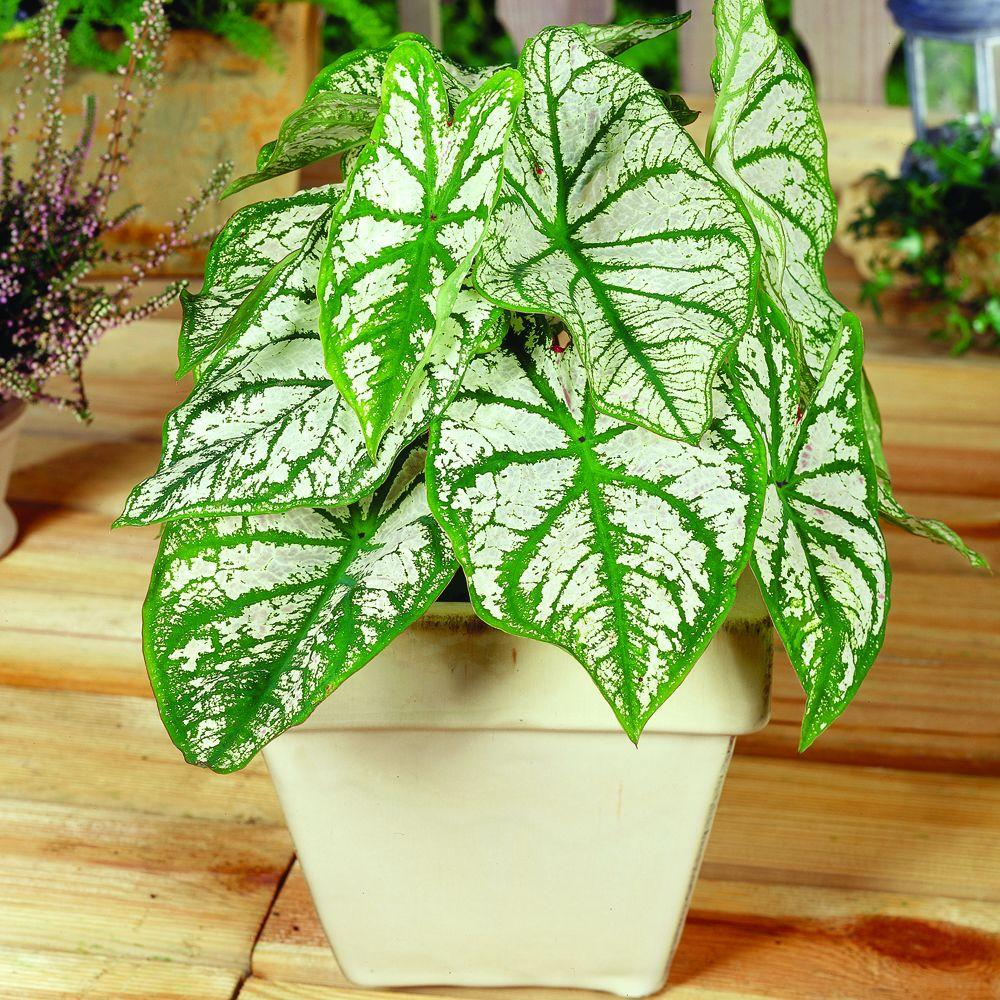 null Caladium White Christmas Dormant Bulbs (36-Pack)