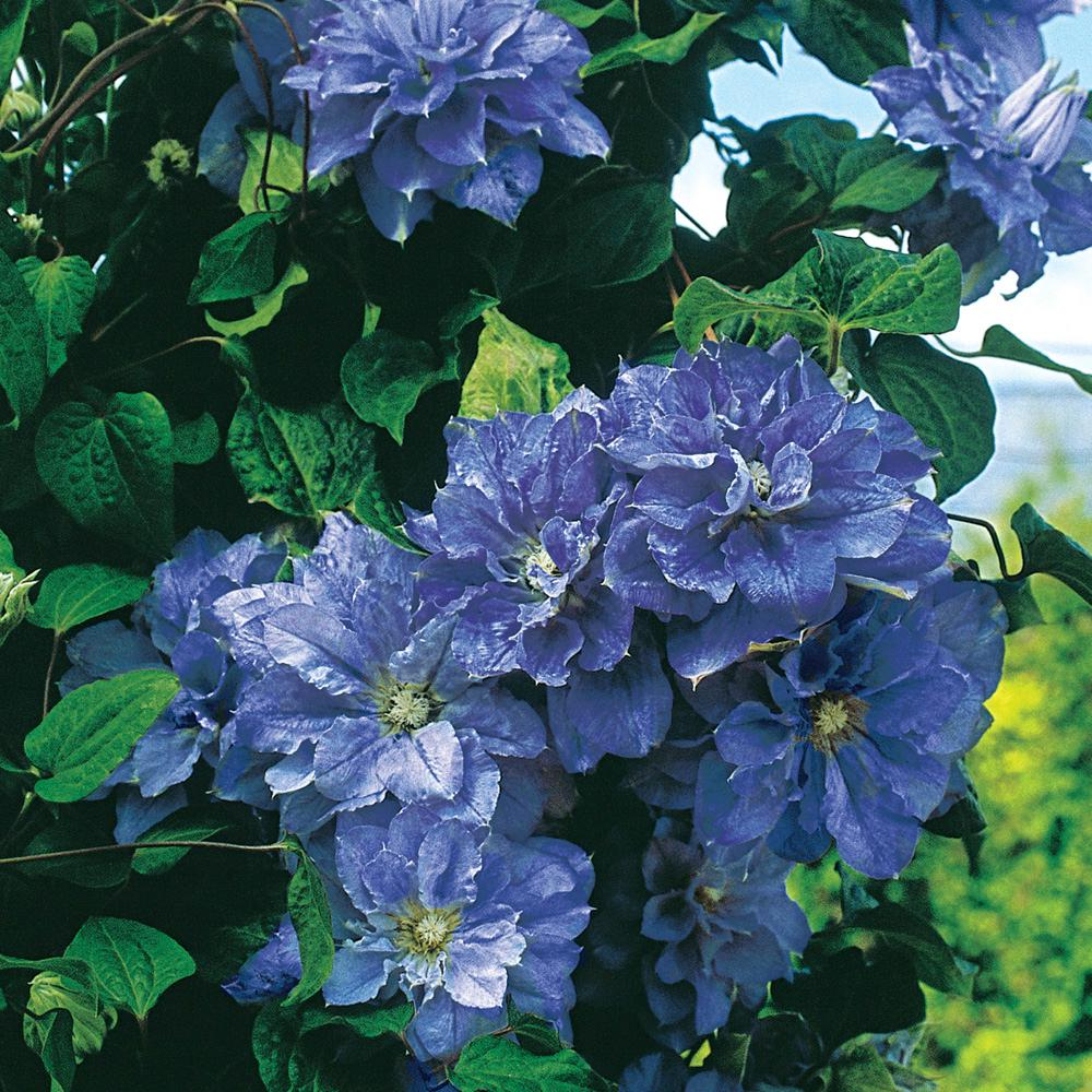 Spring Hill Nurseries Crater Lake Clematis Live Bareroot Plant