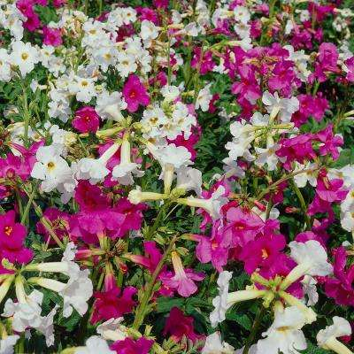 5 20 to 10 f highlow flowering perennials garden plants incarvillea mix plant 5 pack mightylinksfo