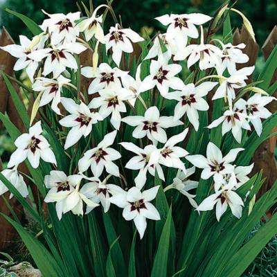 8 cm to 10 cm Murielae Acidanthera Bicolor Bulbs (24-Pack)