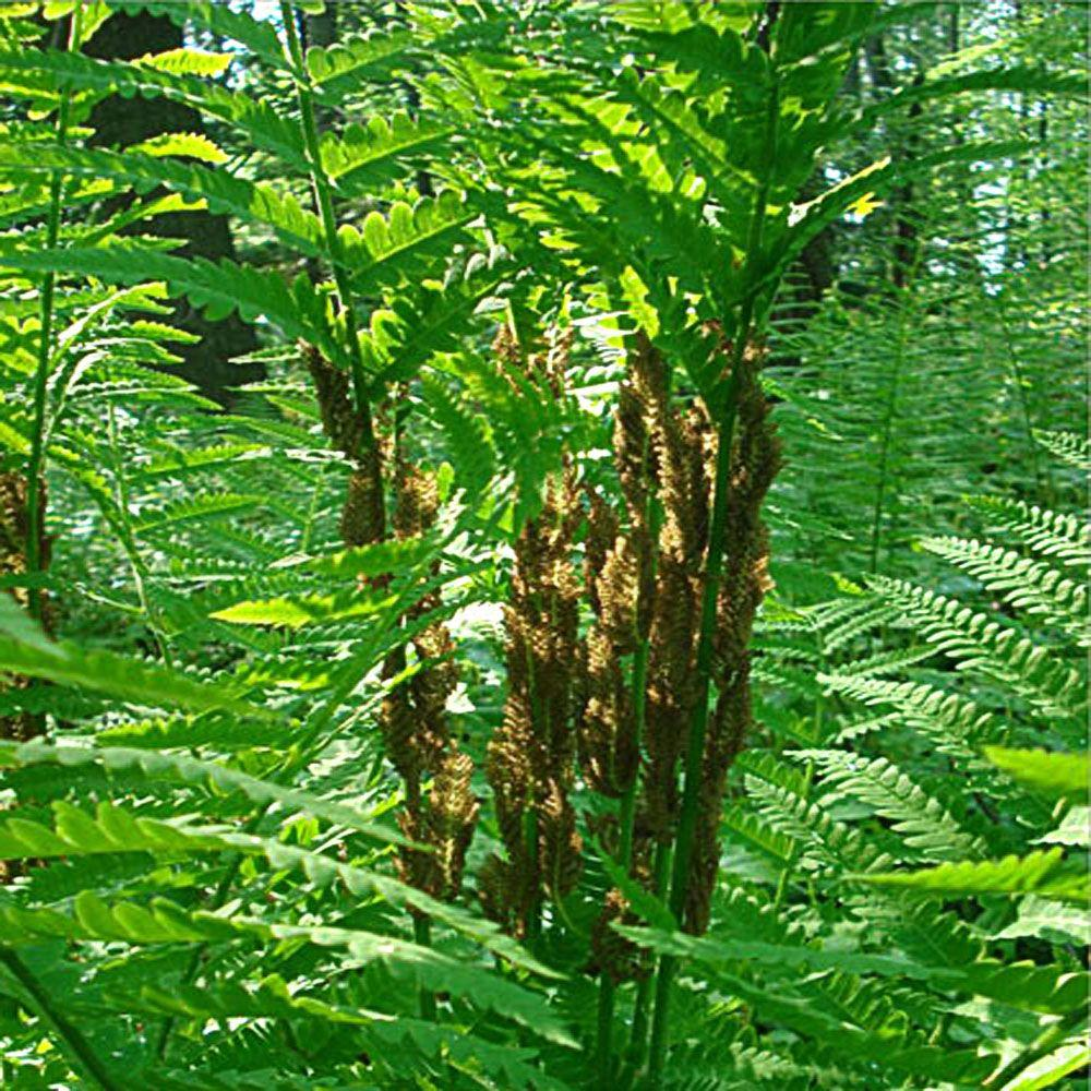 OnlinePlantCenter 1 gal. Cinnamon Fern Plant