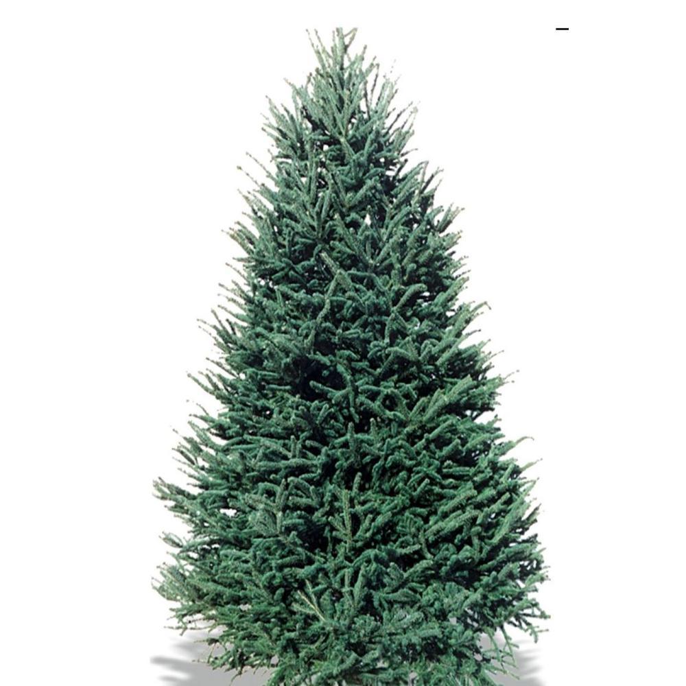 8 ft. to 9 ft. Abies Balsam Fir Christmas Tree