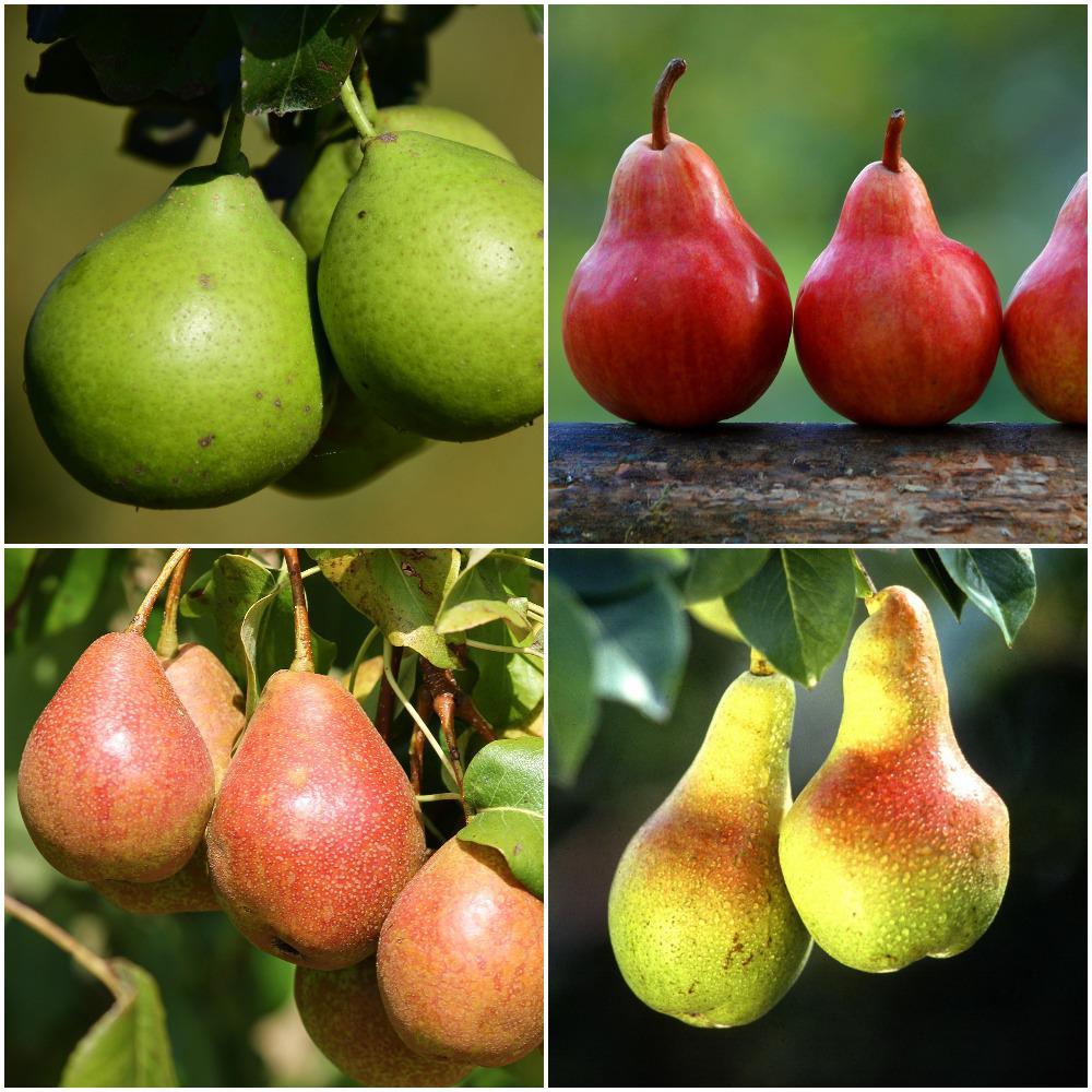 4-in-1 Pear Jubilee Tree