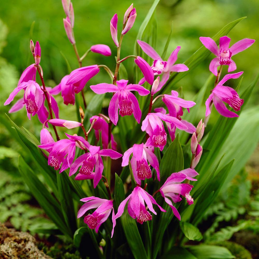 Van Zyverden Bletilla Striata Hardy Garden Orchid Root Set Of 3
