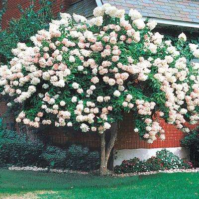 Pee Gee Hydrangea Tree Live Bare Root Plant with White Flowering Tree form Shrub (1-Pack)