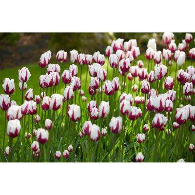 Flaming Baltic Tulip Bulbs (6-Pack)
