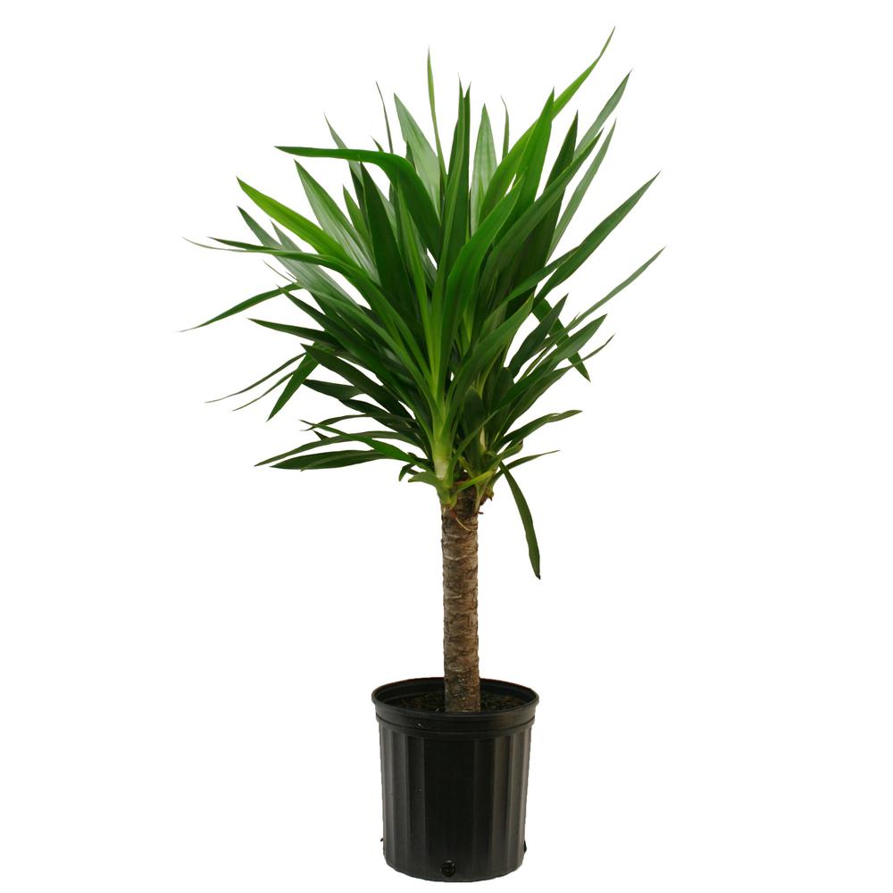 Delray Plants Yucca Cane In In Grower Pot 10yc1
