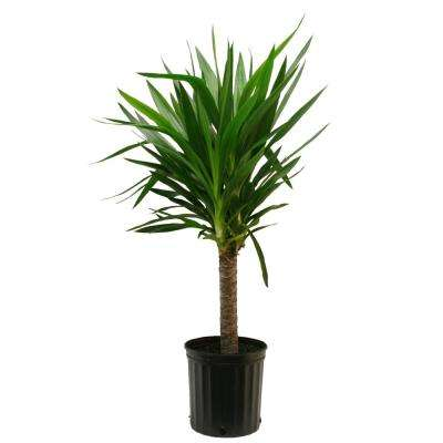 Yucca Cane 1pp in 8-3/4 in. Pot