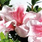 2 Gal. Autumn Chiffon Encore Azalea Shrub with Bicolor White and Magenta Pink Reblooming Flowers