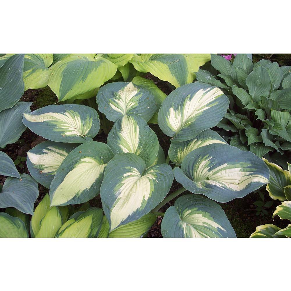 Proven Winners Shadowland Hudson Bay Hosta Live Plant Variegated Foliage 3 Gal