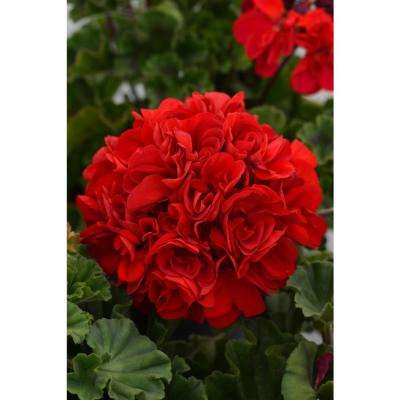 1 Qt. Red Geranium in Grower Pot (4-Pack)