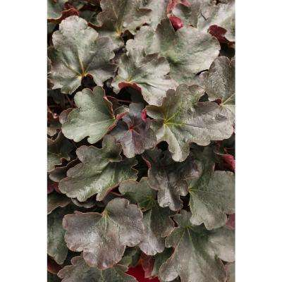 Dolce Brazen Raisin Coral Bells (Heuchera) Live Plant, Purple-Black Foliage, 0.65 Gal.