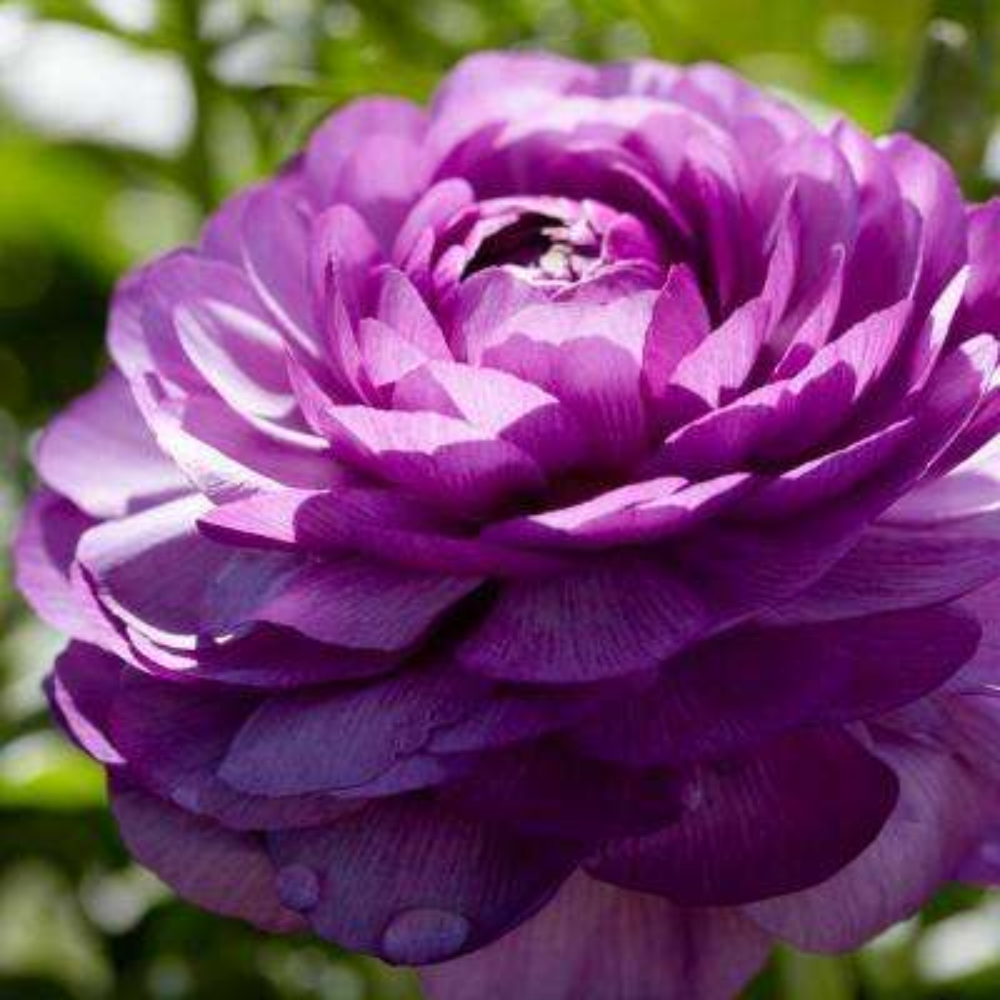 Purple flower bulbs garden plants flowers the home depot butter cups bulbs ranunculus double purple set of 12 mightylinksfo