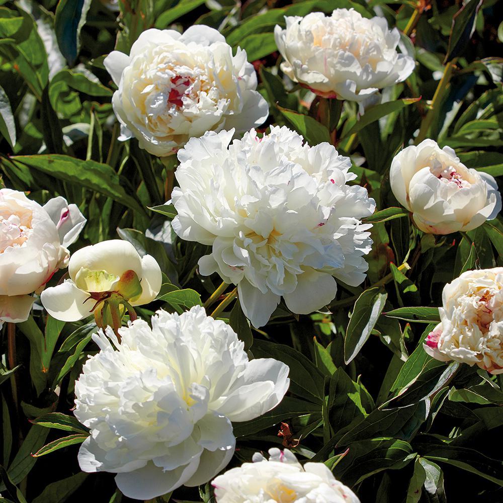 Peony White Flower Bulbs Garden Plants Flowers The Home Depot