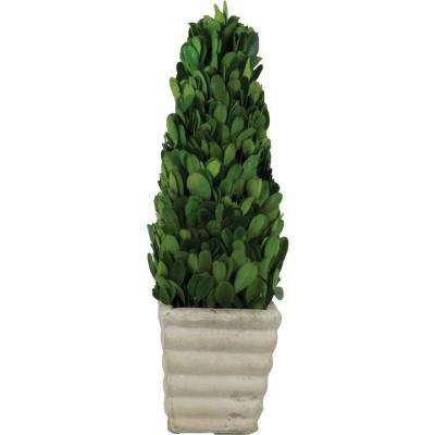 3.5 in. W x 12 in. H Preserved Boxwood Cone in White Terracotta Pot