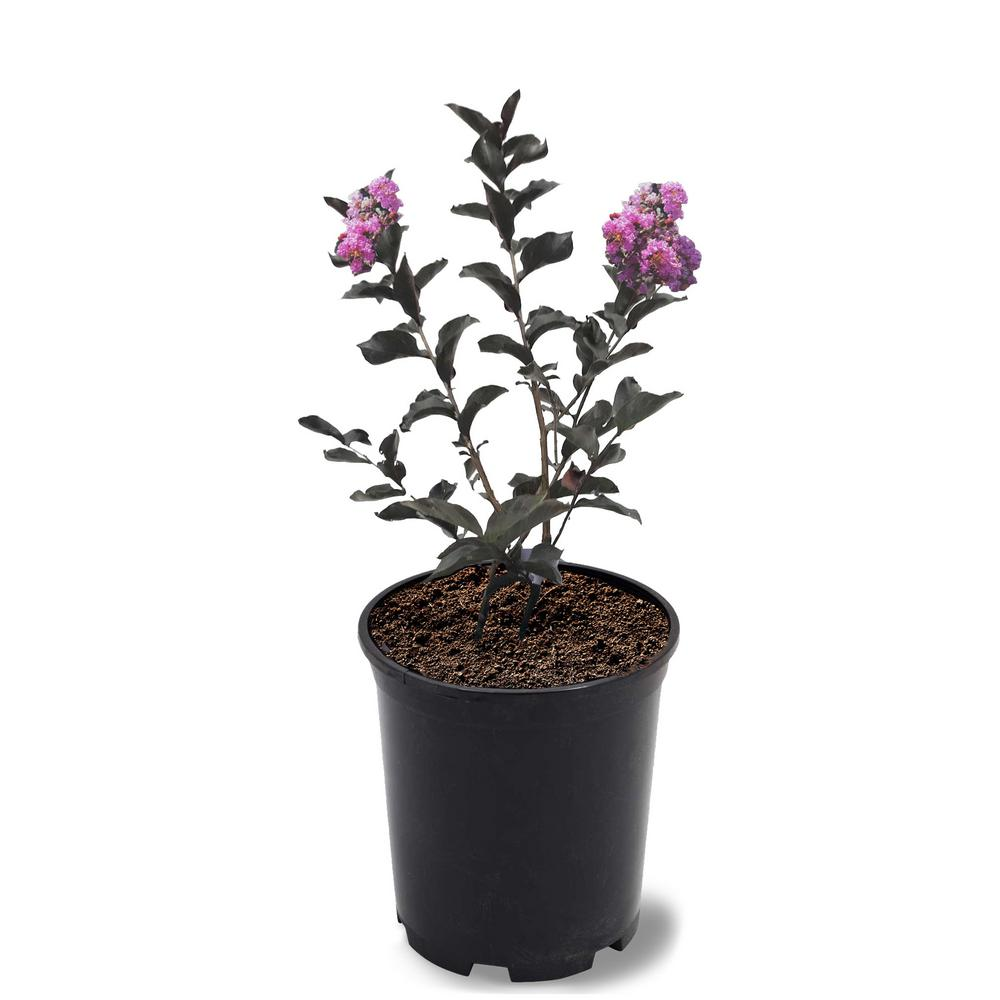 Black Diamond 1 Gal. Black Diamond Purely Purple Crape Myrtle Tree