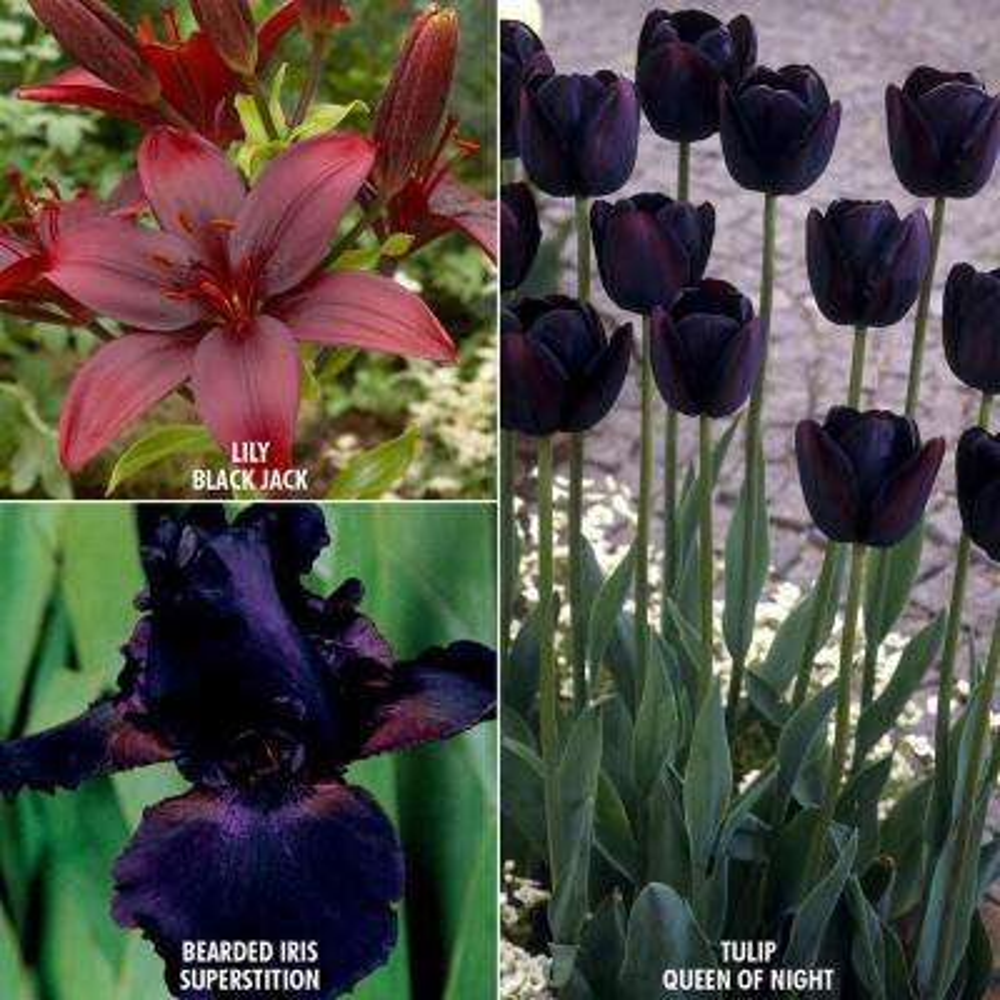 Color Your Garden Black Bulbs Collection (Set of 23)