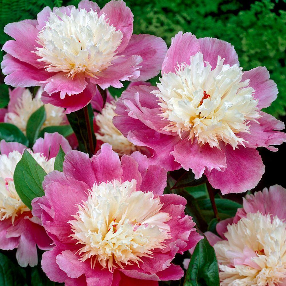 Bloomsz Bowl of Beauty Peony Roots (5-Pack)