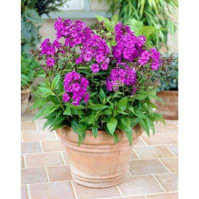Phlox Nicky Tall (Pack of 3)