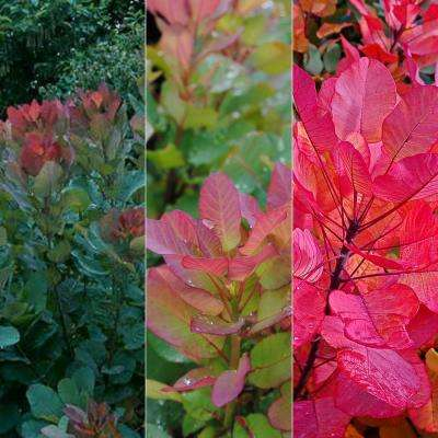 4 in. Pot Purple Foliage Smoke Tree (Cotinus) Live Potted Tree (1-Pack)