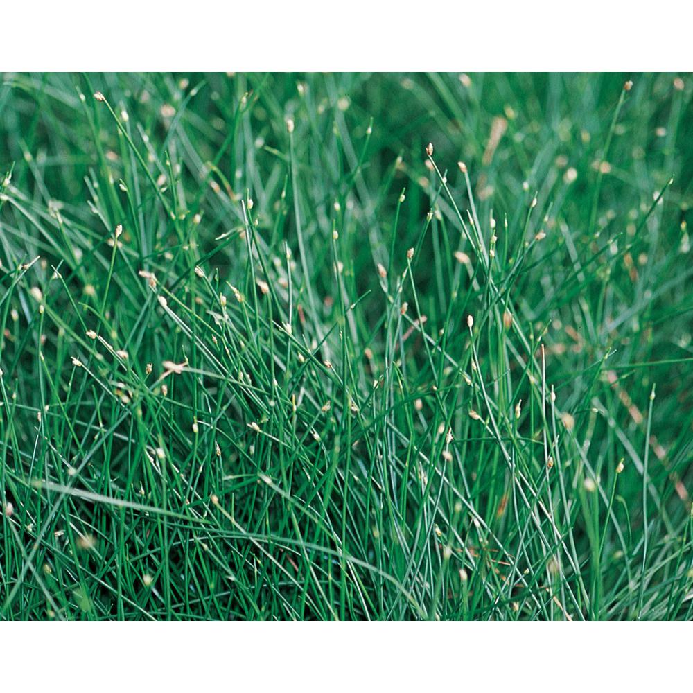 Graceful Grasses Fiber Optic Grass (Isolepsis) Live Plant, GreenFoliage,4.5 in. Qt.