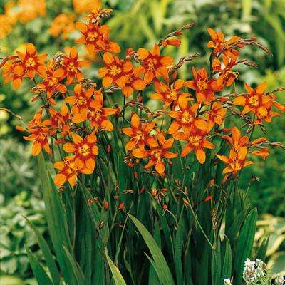 Crocosmia Emily McKenzie Bulbs (25-Pack)