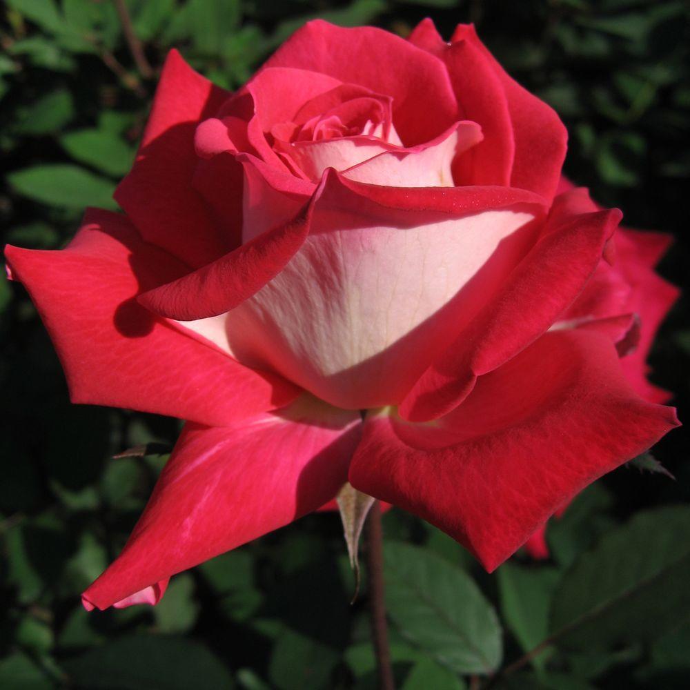 Mea Nursery All Time Favorites Rose Love