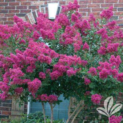 Flowering trees trees bushes the home depot 4 in x 4 in x 10 in crape myrtle tonto container mightylinksfo