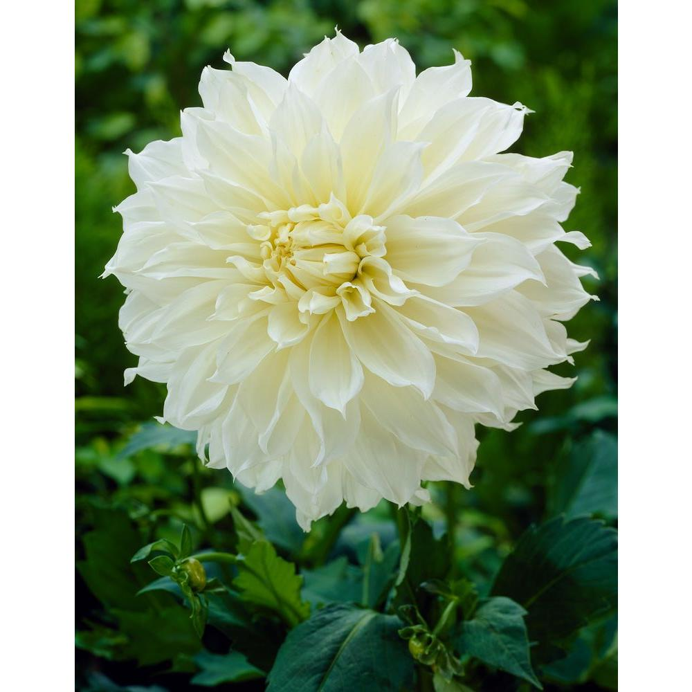 Dahlia white flower bulbs garden plants flowers the home depot worlds largest dahlia fleurel bulbs 3 pack izmirmasajfo