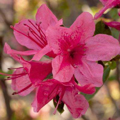 3 Gal. Autumn Cheer - Re-Blooming Compact Evergreen Shrub with Petite Pink Blooms