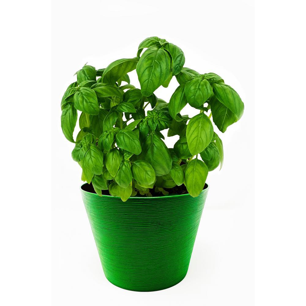 Herb Plant Sweet Italian Basil in 6 In. Deco Pot