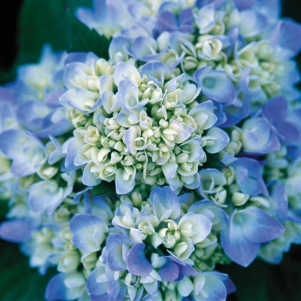 1 Gal. The Original Hydrangea(Macrophylla) Live Deciduous Shrub, Pink or Blue Mophead Blooms