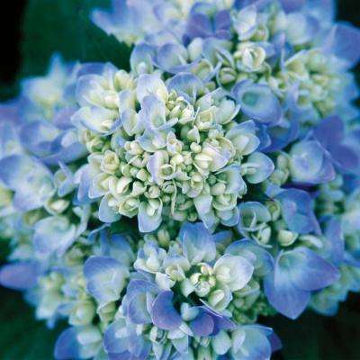 1 Gal. The Original Hydrangea(Macrophylla) Live Deciduous Shrub, Pink or Blue Mophead Blooms