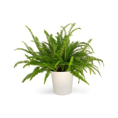1.9 Gal. Kimberly Fern Plant in 9.25 in. Designer Pot