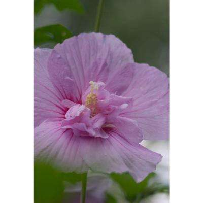3 Gal. Lavender Chiffon (Hibiscus) Live Shrub, Light Purple Flowers