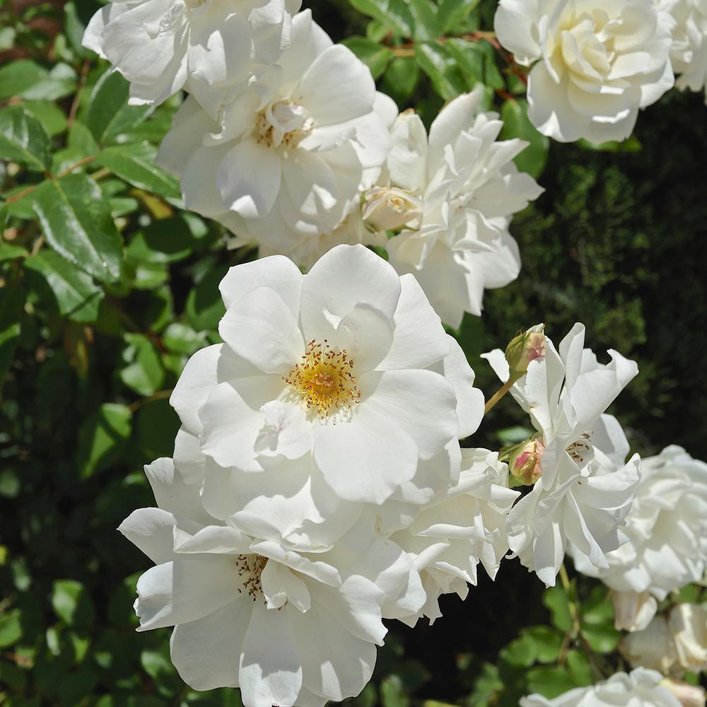 Van Zyverden White Rose Iceberg Root Stock 83890 The