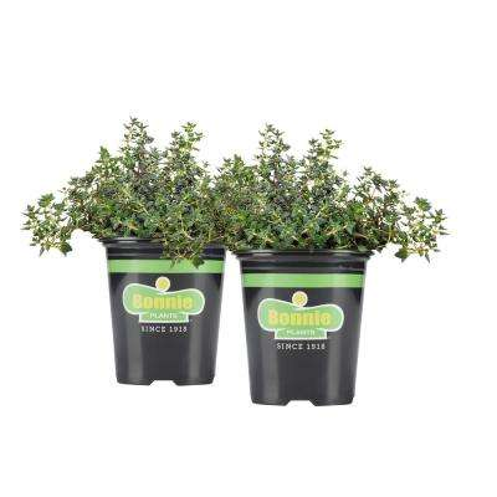 19.3 oz. German Thyme (2-Pack Live Plants)