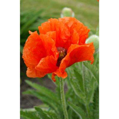 5 20 to 10 f spring flower bulbs garden plants flowers prince of orange oriental poppy pack of 3 mightylinksfo Images