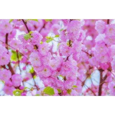 Shogetsu Cherry Blossom Tree (Bare Root, 3 ft. to 4 ft. Tall)