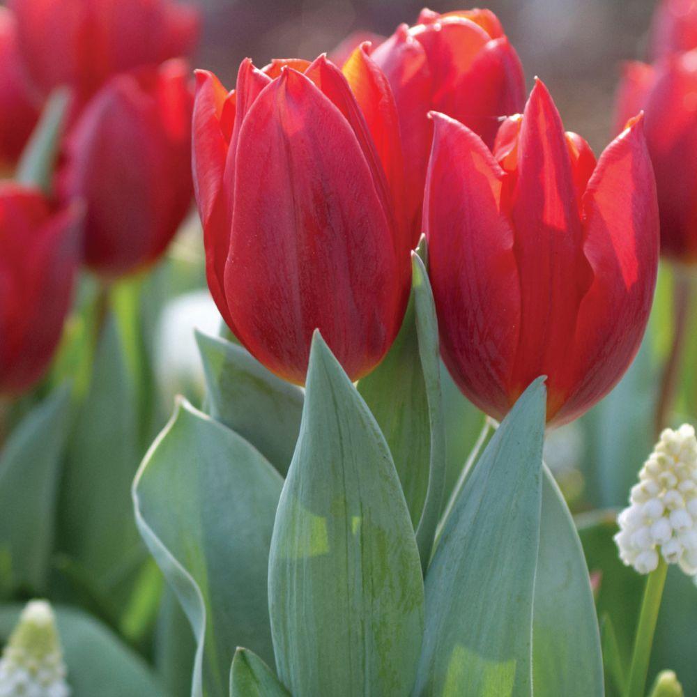 Martha Stewart Living Tulip Couleur Cardinal Dormant Bulbs (50-Pack)