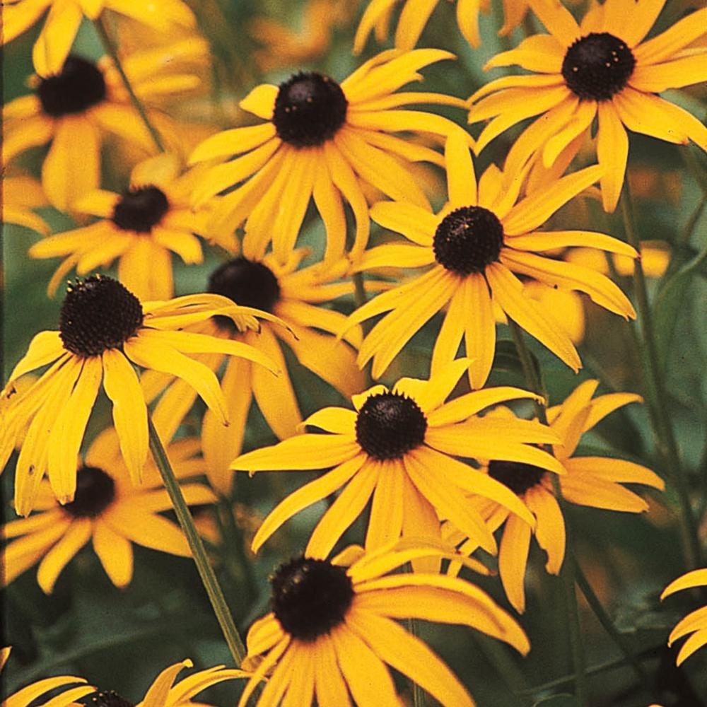 Spring hill nurseries 25 qt black eyed susan goldstrum rudbeckia black eyed susan goldstrum rudbeckia live perennial mightylinksfo