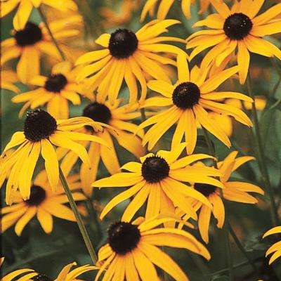 Yellow perennials garden plants flowers the home depot black eyed susan goldstrum rudbeckia live perennial plant yellow mightylinksfo
