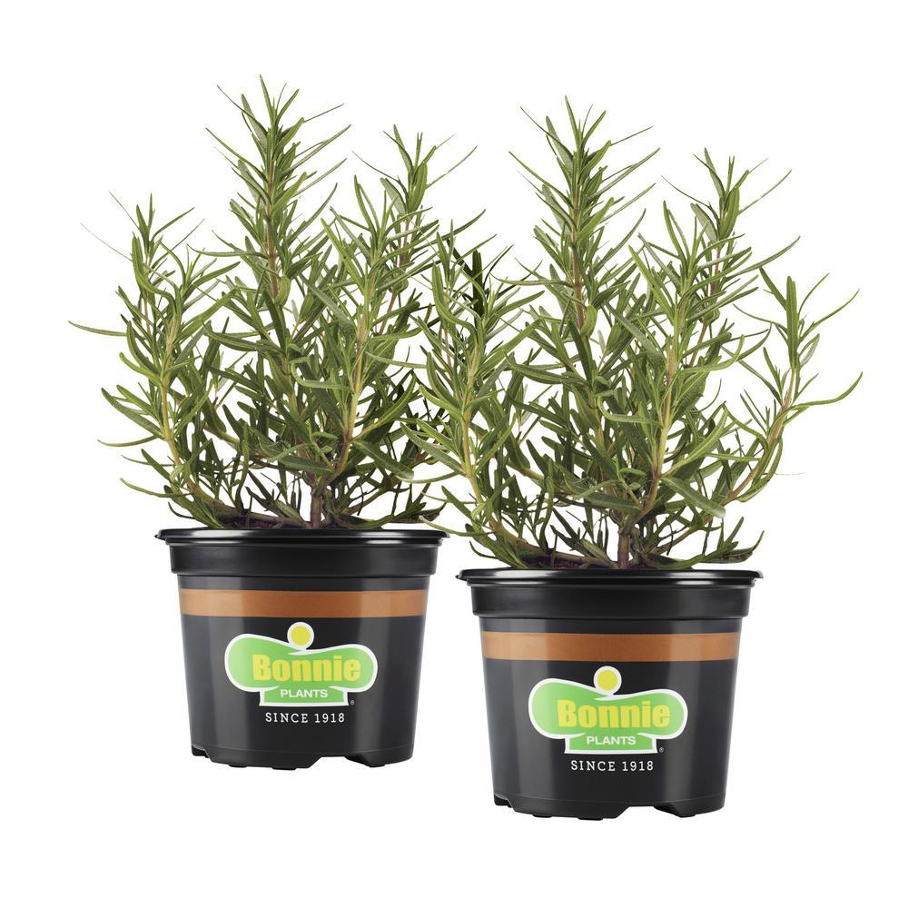 25 oz. Lavender (2-Pack Live Plants)