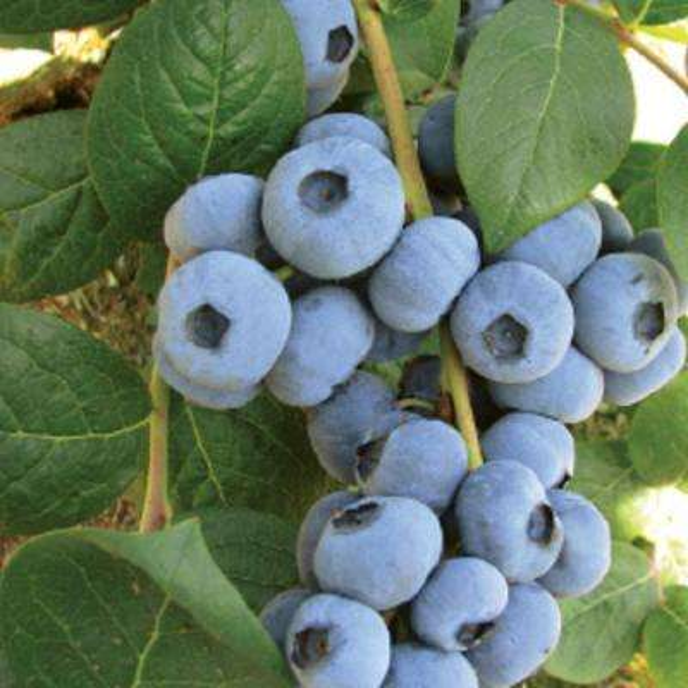 2.5 Qt. Muffin Top Blueberry(Rabbiteye) Bush - Fruit-bearing Shrub