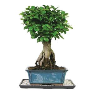 Brussel 39 s bonsai gensing grafted ficus bonsai ct 7013gmf the home depot - Bonsai ficus ginseng entretien ...