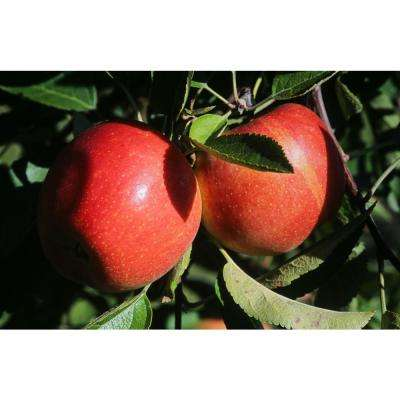 Dwarf Braeburn Apple Tree Bare Root