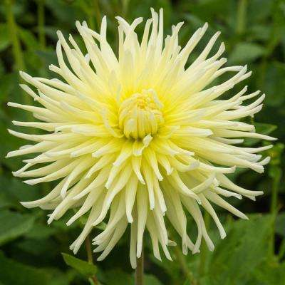 Yellow Star Dahlia Bulbs (3-Pack)
