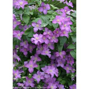 Proven Winners 1 Gal. Jolly Good (Clematis) Live Shrub, Light Purple Flowers by Proven Winners